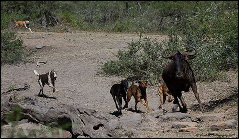 feral dogs feral dogs at imfolozi africa geographic