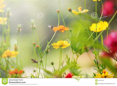 ci de fiori beautiful light with yellow cosmos flowers field with