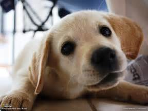 Lab Puppies Golden Lab Puppy