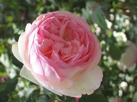 heirloom rose in the garden pinterest