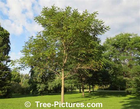 tree pictures butternut tree photos facts on butternut trees