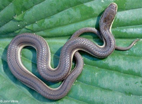Garden Snake Ny Meet New York S 17 Slithery Snakes 3 Are Poisonous To