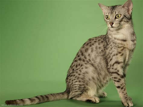 wallpaper egypt cat egyptian mau wallpapers hd download