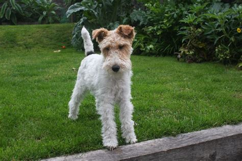 fox terrier wire haired fox terrier belfast county antrim pets4homes