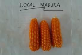Benih Jagung Komposit rahasia jagung lokal madura beritabumi beritabumi