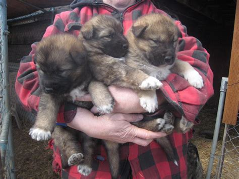 direwolf puppies your dreams of owning a dire wolf can finally come true sort of wired