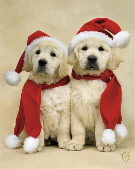 yellow lab pups merry christmas card puppy holiday dogs santa claus dog puppies xmas labrador