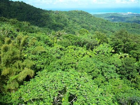 What Does Canopy In The Rainforest Tropical Rainforest Emergent Layer Clip Cliparts