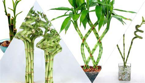 Merawat Tanaman Bambu Rejeki bambu rezeki tanaman pembawa hoki kabari news