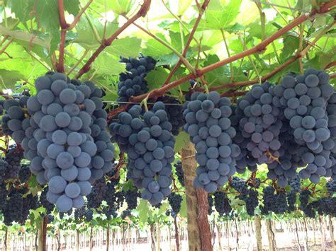 imagenes de uvas tintas vinhos e cacha 199 as para tomar vinho de um modo f 225 cil por