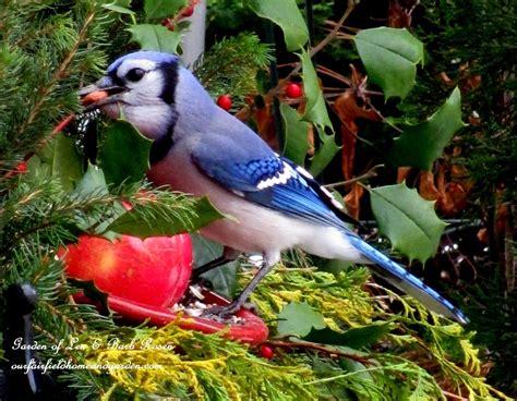 blue jay eating a peanut http ourfairfieldhomeandgarden