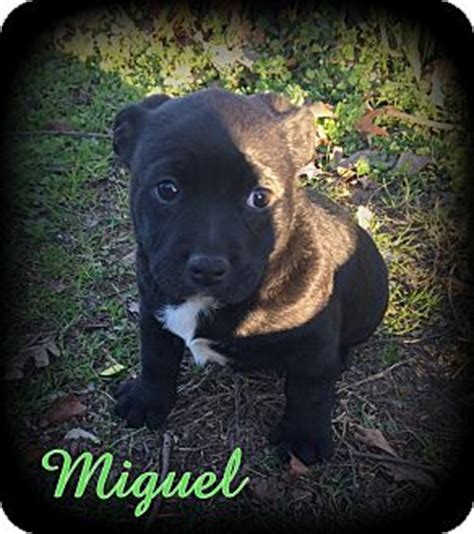 shih tzu rescue australia denver nc australian shepherd shih tzu mix meet miguel a puppy for adoption