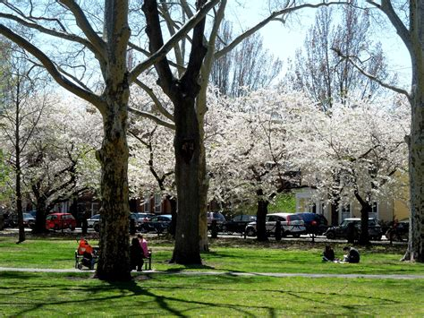 wooster square cherry blossoms living in greater new