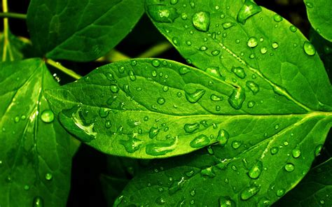 wallpaper of green leaves fresh green leaves wallpapers and images wallpapers