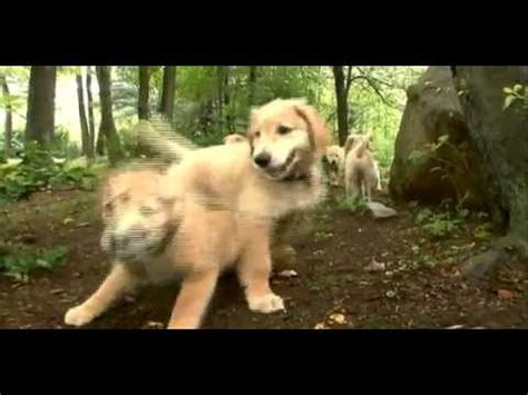 golden retriever dogs 101 dogs 101 golden retriever