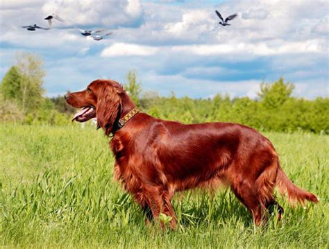 red setter dog weight irish setter dog breed information and facts