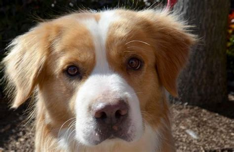 golden retriever cross 12 golden retriever cross breeds you to see to believe