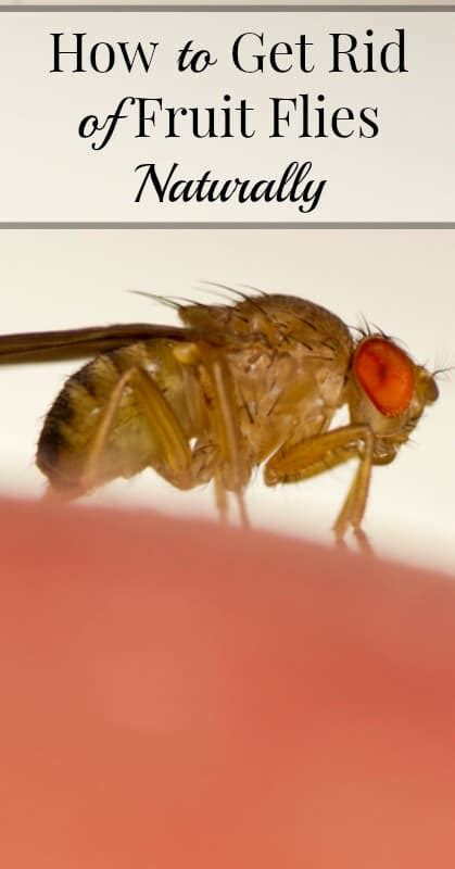 how to get rid of flies in the backyard how to get rid of fruit flies