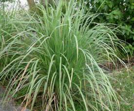 grow your own lemongrass lovely greens garden living and