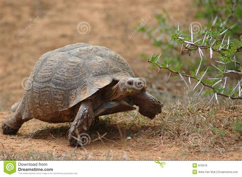 download free south african house music african tortoise royalty free stock images image 976519