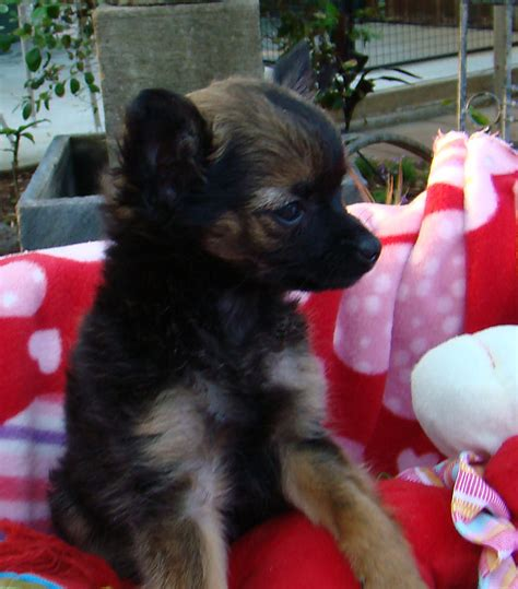 yorkie poo puppies for sale perth for sale chihuahua x pomeranians tiny weeny 12 week pups