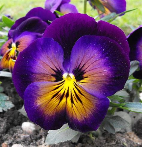 pansy colors pansy the specific colors of the flower purple yellow