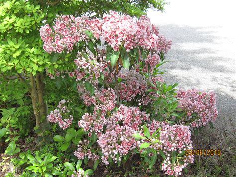 kalmia latifolia kalmia latifolia pinwheel