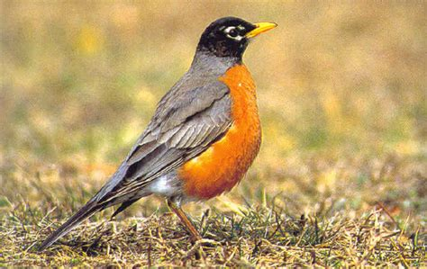 jon s bird watching american robin