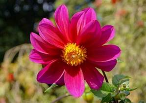 photos of colombia flowers dahlia