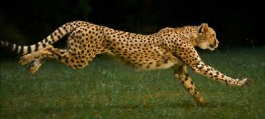 How Fast Does A Jaguar Run Study Of A Cheetah Running
