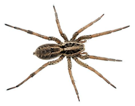 wolf spider images spider bite guide your spiders prepper s will