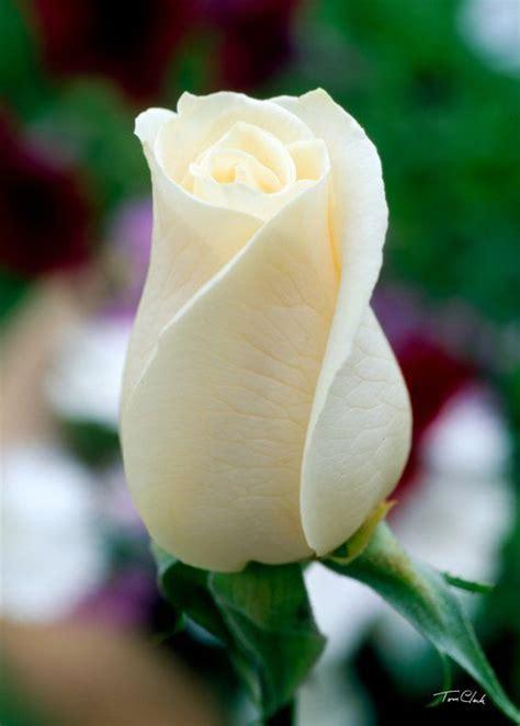 imagen de una hermosa rosa blanca para whatsapp image gallery hermosa rosa blanca heaven