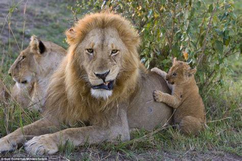 imagenes de leones con sus cachorros un le 243 n ve a su cachorro por primera vez schnauzi com