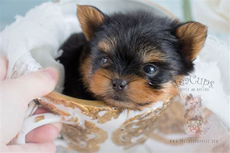 shoo for yorkie puppies teacup yorkie puppies teacups puppies boutique