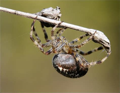 Garden Spider Uk Wiki Treknature European Garden Spider Photo