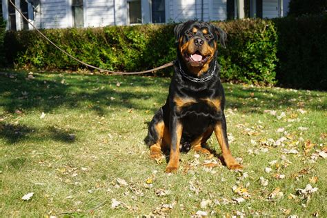 trained rottweiler for sale romeo big handsome rottweiler s best friend
