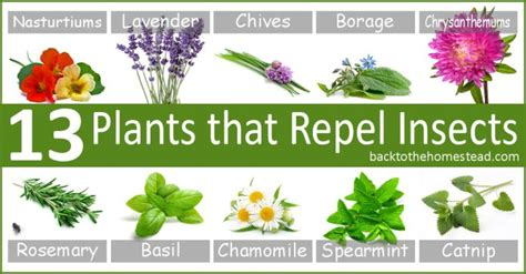 plants that repel aphids 13 insect repellent plants and herbs for your garden