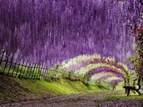 flower tunnel japan kawachi fuji garden wisteria tunnel japan deluxe tours