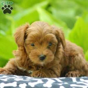 yorkie puppies denver yorkiepoo puppies for sale from reputable breeders greenfield puppies