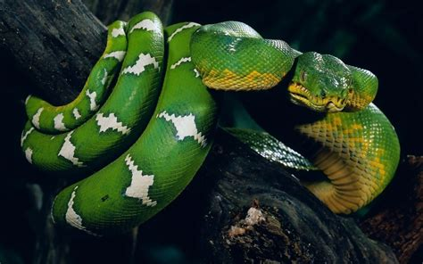 snakes hd wallpapers