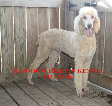 standard poodle puppies for sale ohio puppies for sale poodle standard barbone standard poodles f category in