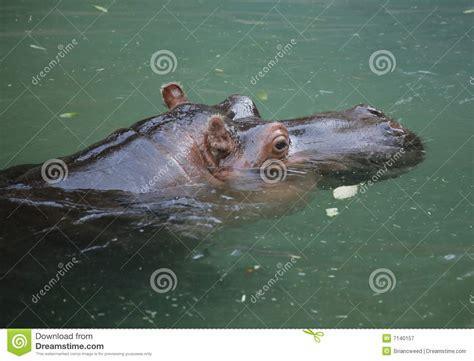 Hippo Nave ippopotamo immagine stock immagine di nave grande