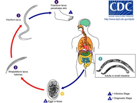 pinworm cycle diagram necator americanus la enciclopedia libre