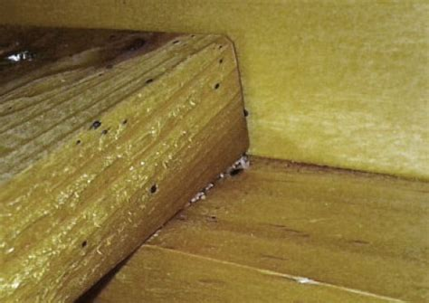 bed bugs in wood bed bug eggs on wood bangdodo