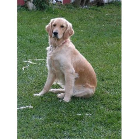 golden retriever breeders south florida kaczara farm goldens golden retriever breeder in south lyon michigan