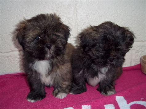 lhasa apso dogs pedigree kc registered lhasa apso puppies in hereford
