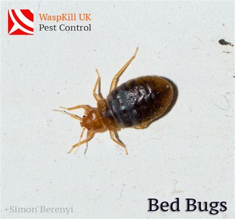 bed bug company waspkill uk pest control pest control company in redhill