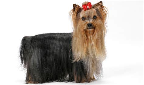 span for yorkies terrier breed information