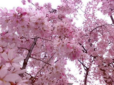 59 best cherry blossom images on cherry blossom cherry blossoms and floral arrangements