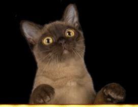 Gc Laki burmese cats